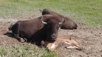 Bison, Omega Wildlife Park