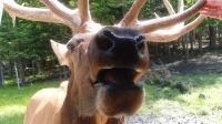 Elk, Omega Wildlife Park