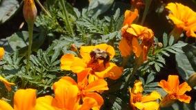 Bee, Mont Tremblant