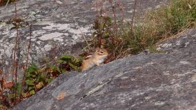 Chipmunk, Mont Tremblant