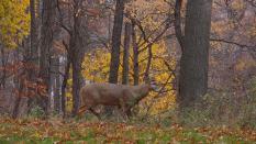 Deer, McMaster University