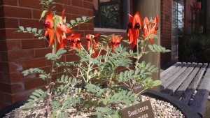 The first Sturt Desert Pea I have ever seen in real life