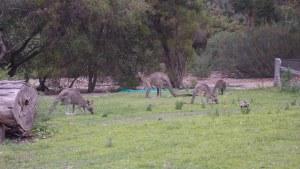 Kangaroos at the botanic gardens