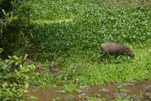 Warthog and it's adorable stripey babies