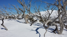 Squiggly snow gums at the top of Parachute