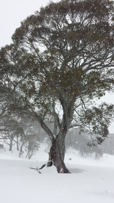 Snow gum at the bottom of Mount Perisher