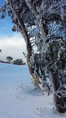 Beautiful snow gum