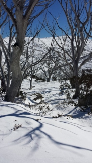 Snow gums below Chair Park Chair, Guthega