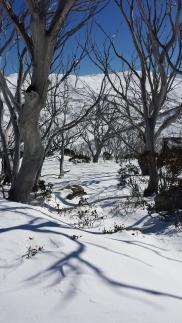 Snow gums below Chair Park Chair, Guthega