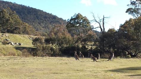Kangaroos at Island Bend near Guthega